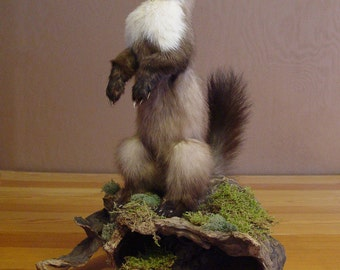 New reduced price! Life-size Stone Marten Taxidermy Mount, animal mounts, home decor, taxidermy