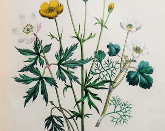 Mrs Loudon, 1846 Hand Coloured Antique Botanical Print, Wood Anemone, Buttercup, Water Crowfoot