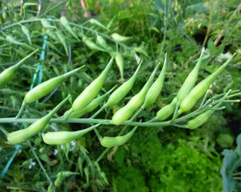 Rare Vegetable Radish Rat Tails - 20 seeds - UK SELLER