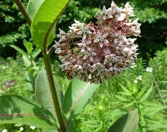Common Milkweed seeds,  Monarch Butterfly Host