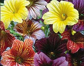 Salpiglossis Grandiflora - 200 Seeds - Finest Mix - Painted Tongue Flower