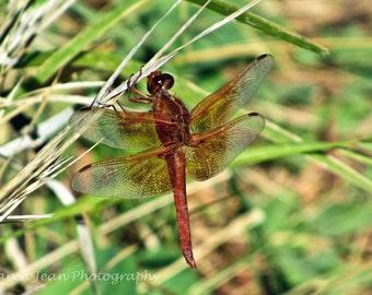 Flameskimmer Orange Dragonfly
