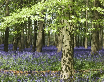Bluebells in English Woodland Giclee photo print photography fine art