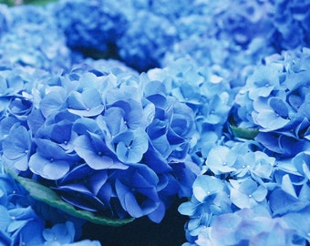 Hydrangea Blooms Photography