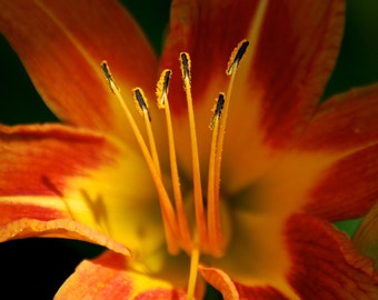 Tiger Lily Photography