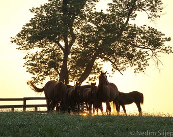 Grazing Horses on Thoroughbred Horse Farm in the Heart of Bluegrass Kentucky. Landscape Equine Sunrise Photo Art Print for Home Decor.