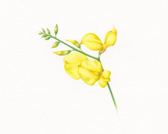 Yellow Broom Flowers Botanical Print. Printable Digital Image