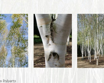 Silver Birch Photograph Tryptich