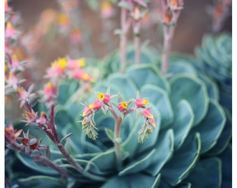Nature Photograph - Succulent Photograph - Flower Photograph - Spring - Peach - Echeveria 1 - Fine Art Photograph - Alicia Bock - Floral Art