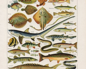 Poissons Fish French Chart of Shark Salmon Stingray Double Sided