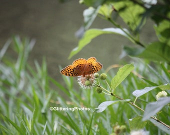 Silver, bordered Fritillary, Butterfly, Henryville, Clark County, Indiana, Fine Art, Photography, Print, Glossy, 8 x 10