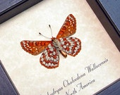 Real Framed Euphydryas Chalcedona Wallacensis Butterfly Shadowbox Display 8225