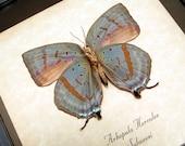 Real Framed Arhopala Hercules Verso Butterfly Shadowbox Display 8041v