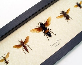 Real Framed Exotic Wasp Collection Shadowbox Display 8000