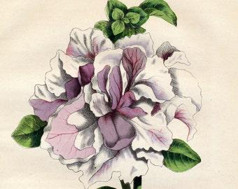 1863 Vintage Botanical Print of Petunias - Petunia Caryophylloides - Handcolored - German