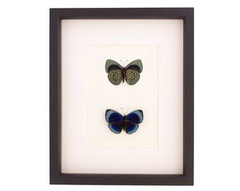 Framed Butterflies Charles Darwin Butterfly Showing Both Sides