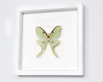 Framed Real Luna Moth Mounted in White Museum Shadowbox