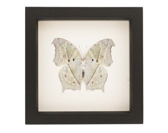 Real Butterfly Taxidermy Mother of Pearl Underside