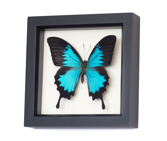 Wall Art Glass Butterflies : Butterfly wall art framed butterflies swallowtail display