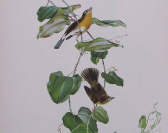 Menaboni's Birds/YELLOW-BREASTED CHAT/1950s Book Page/Colorplate/Unframed Print