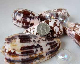 Beach Decor Seashell - Nautical Decor Conus Striatus Shell - Large, Brown Blotchy - 1PC