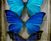 Butterfly wall art, sapphire blue, teal, aqua, navy, butterfly photgraph, pop art photography print, still lIfe macro photo, entemology