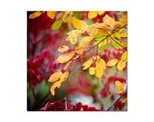 Colorful autumn photograph, deep red leaves, golden yellow, autumn wall decor, modern home decor, nature photography print, square art