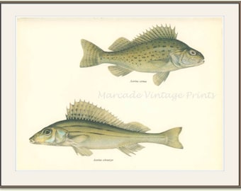 Pope Perch, Schratzer, 8 x 10, Vintage Fish Print, 1970, (125) Fresh Water, Jiri Maly, Ichthyology,