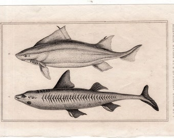 1817 sharks original antique sea life ocean print