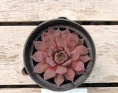 Old Rose Sempervivum Plant, Hens and Chicks, Extremely Cold Hardy Succulent
