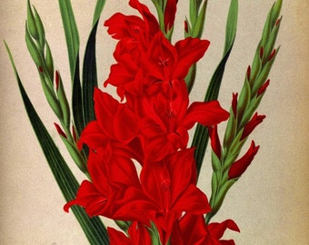 antique victorian botanical print red gladiolus illustration DIGITAL DOWNLOAD