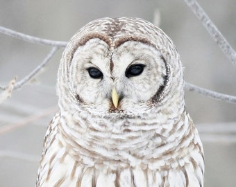 Wise Old Owl Mysterious Black Owl Eyes Grey Gray Winter White Snow Forest Snowy Bird Feathers Nature North Woods Photography Photo Print