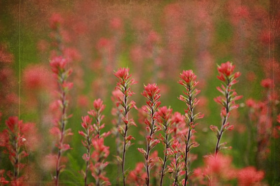 Flower Photography- INDIAN PAINTBRUSH-  pink flowers, spring, light, pink, sunlight, textures, flowers, mauve, valentine, mothers day