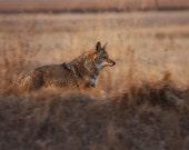 Coyote Running Photograph, Coyote fine art print, Wild Running Coyote