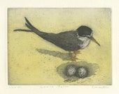 California Least Tern, Etching of Endangered Shorebird