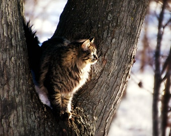 Feline Cat Photography cat in tree,cat in winter,brown tabby cat,long haired cat,handsome cat,cat lovers art,gorgeous kitty cat portrait
