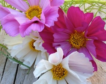 CLEARANCE SALE! Seashells Mix Cosmos Annual Tall Cottage Garden Flower Seeds