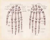 Antique Medical Page Diagram Skeleton Bones Hands 1911 Early 1900s Book Page Zombie Anatomy Illustration Educational Doctors Office Ephemera