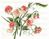Sweetpea Vintage Garden Printable Pink Flower Illustration Digital Download JPG Image