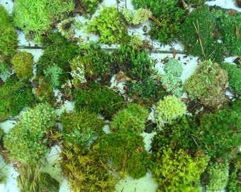 Mini collection of Live Moss lichens & vines -ORGANIC AND NATURAL- (Free Shipping)
