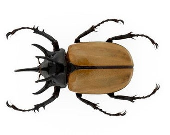 "2.5+"" Real 5 Horned Rhino Beetle Eupatorus Gracilicornis beetle dried preserved brown black insect bug taxidermy"