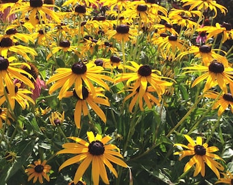 Rudbeckia fulgida Goldsturm, Live Plant in Four Inch Pot, Great for Perennial Gardens and Butterfly Gardens