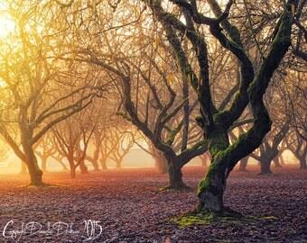 Landscape Photo | Oregon | Hazelnut Orchard | Trees | Colorful | Rural Countryside | Foggy Day