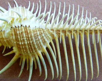 Venus Comb Shell (Large)