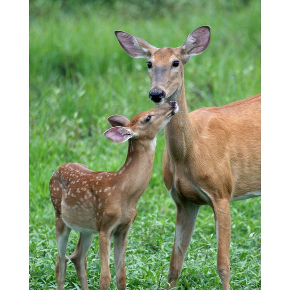 Items Similar To Doe And Fawn Photo Deer Photo Baby Deer