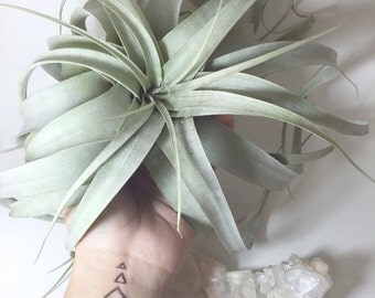 Xerographica Airplant Tillandsia Large Easy To Care Plant READY TO SHIP