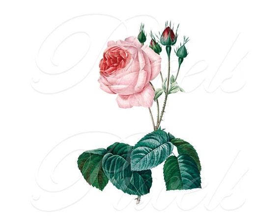 ROSE Instant Download, Digital Downloads, Image Digital, digital large botanical illustration, pink rose Redoute 032