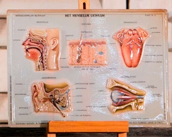 Italian Anatomical Teaching Plates