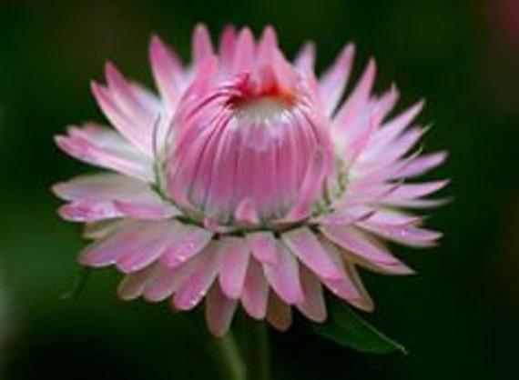 Heirloom Strawflower Mix, Flower Seeds, Excellent as a Dried Arrangement, 25 Seeds