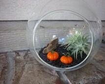 Air Plant Tillandsia Pumpkin Globe